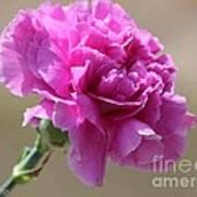Lavender Carnation Poster