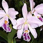 Lavender Cattleya Orchids Poster