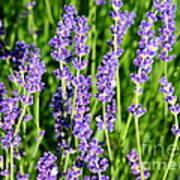 Lavender Dream Poster