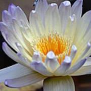 Lavender Edged Lotus Poster