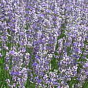 Lavender Hues Poster