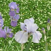 Lavender Iris Poster