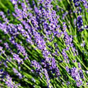 Lavender Square Poster