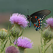 Lavender Thistle And Pipevine Swallowtail Butterfly Poster