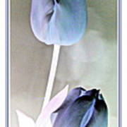Lavender Tulips Poster
