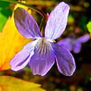 Lavender Violet Along John's Lake Trail In Glacier Np-mt Poster