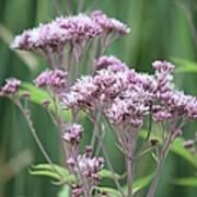 Lavender Wildflower Poster