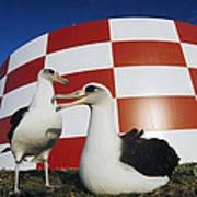 Laysan Albatross Pair Nesting Midway Poster