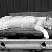 Lazy Cat Poster