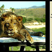 Lazy Lion With Poety Poster