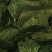 Lazy Sea Lions Poster
