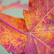 Leaf Abstract In Pink Poster