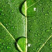 Leaf Dew Drop Number 10 Poster