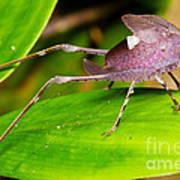 Leaf Katydid Poster