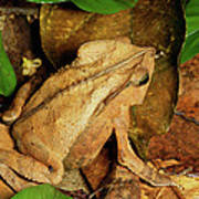 Leaf Litter Toad Bufo Typhonius Poster