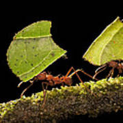 Leafcutter Ants Carrying Leaves Costa Poster
