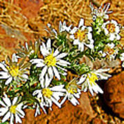 Leafy-bract Asters In Wildcat Canyon Trail Along Kolob Terrace Road In Zion National Park-utah Poster
