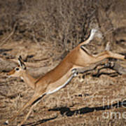 Leaping Impala Poster