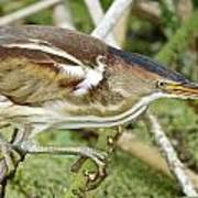 Least Bittern Female Feeding Poster