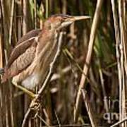 Least Bittern Pictures 7 Poster