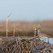 Least Sandpiper Morning Poster