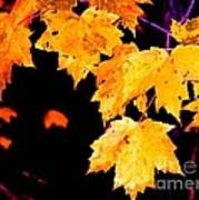 Leaves Of Maple Poster