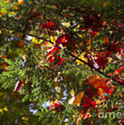 Leaves On Evergreen Poster