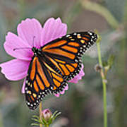 Legend Of The Butterfly - Monarch Butterfly - Casper Wyoming Poster