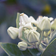 Lei Pua Kalaunu - Crown Flower - Calotropis Gigantea - Asclepiad Poster