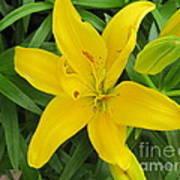 Lemon Lily Poster