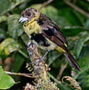 Lemon-rumped Tanager Molting Poster