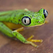 Lemur Frog Costa Rica Poster