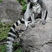 Lemur Pose Poster