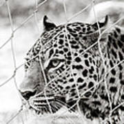 Leopard Black And White Photography Poster
