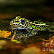 Leopard Frog Floating On Autumn Leaves Poster
