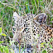 Leopard In The Grass Poster
