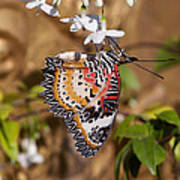 Leopard Lacewing Butterfly Dthu619 Poster