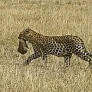 Leopard On The Move Poster