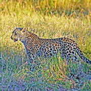 Leopard On The Prowl Poster
