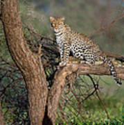 Leopard Panthera Pardus Sitting Poster