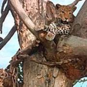 Leopard Up A Tree Poster