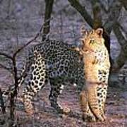 Leopard With African Wild Cat Kill Poster