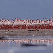 Lesser Flamingos In Mass Courtship Lake Poster