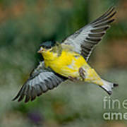 Lesser Goldfinch Male-flying Poster