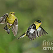 Lesser Goldfinch Pair In Flight Poster