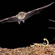 Lesser Long-nosed Bat Approaching Poster