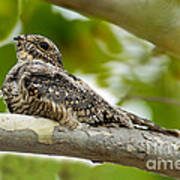Lesser Nighthawk On Branch Poster