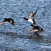 Lesser Scaup Ducks Poster