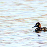 Lesser Scaup Poster