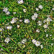 Lesser Stitchwort Near Lobster Cove In Gros Morne Np-nl Poster